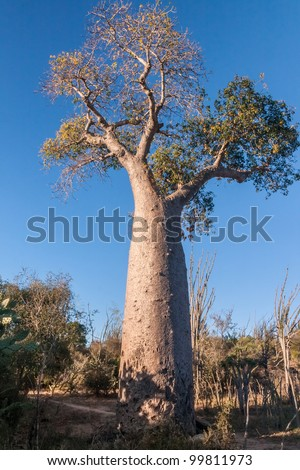 Baobab tree near Fort Dauphin (Tolagnaro), southern Madagascar - stock photo