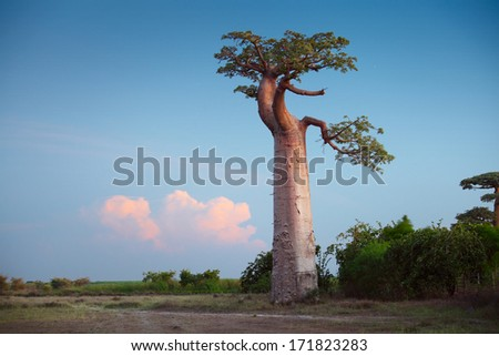 Baobab tree on a dry meadow during sunset. Madagascar - stock photo