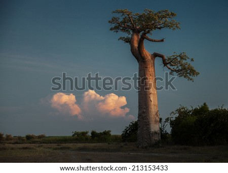 Baobab tree on the dry meadow and fluffy cloud on the background - stock photo