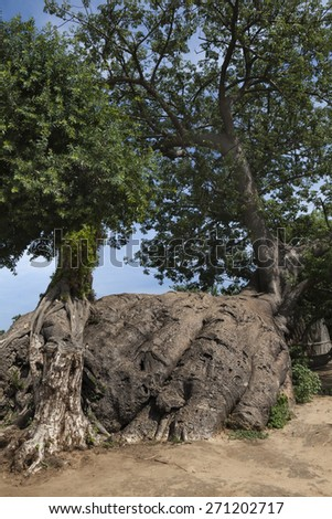 BaoBab Tree, or Moana Tree, Adansonia digitata - stock photo