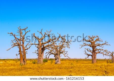 Baobab tree, Senegal - stock photo