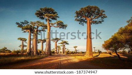 Baobab trees along the rural road at sunny day - stock photo