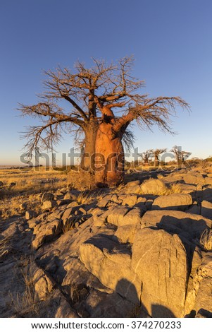 Baobab trees and rocks in early morning light - stock photo
