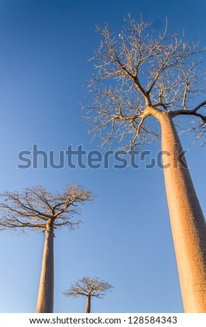 Baobab trees near Morondava, western of Madagascar - stock photo