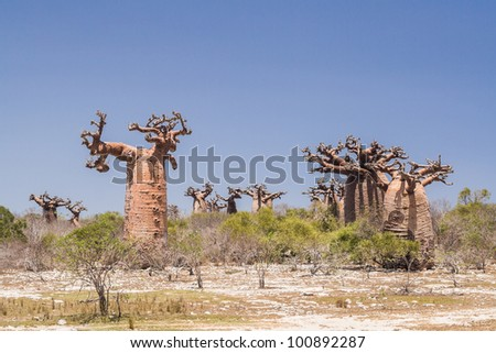 Baobabs forest near Andavadoaka, western Madagascar - stock photo