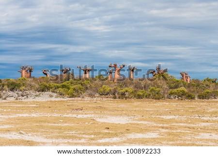 Baobabs near Andavadoaka, western Madagascar - stock photo