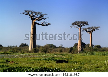 baobabs tree - stock photo