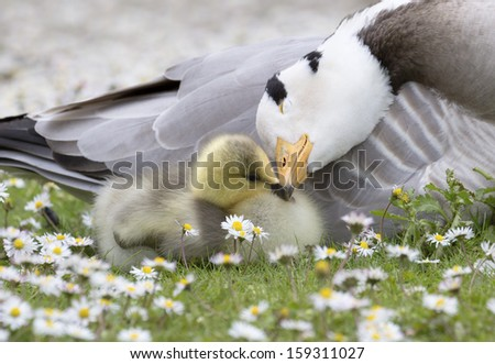 Bar-headed goose nuzzling young Chick with shallow depth of field among daisy flowers. - stock photo