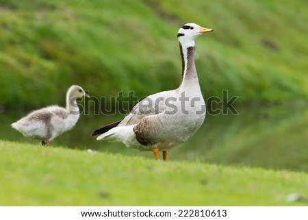 Bar-headed goose with young Chick in the background - stock photo