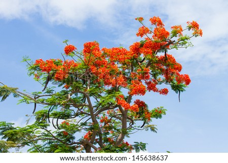 Barbados  Pride , peacock  Flower and sky - stock photo