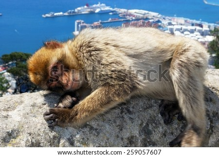 Barbary Ape (Macaca Sylvanus) lying on a wall near the top of the rock with the Mediterranean Sea and Spanish coastline to the rear, Gibraltar, United Kingdom, Western Europe. - stock photo