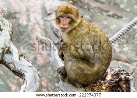 Barbary ape with sad expression - stock photo