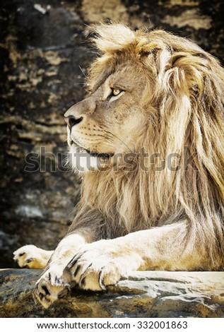 Barbary lion (Panthera leo leo). Animal portrait. Animal king. - stock photo