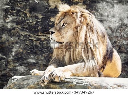 Barbary lion (Panthera leo leo). Animal portrait. Lion king. - stock photo