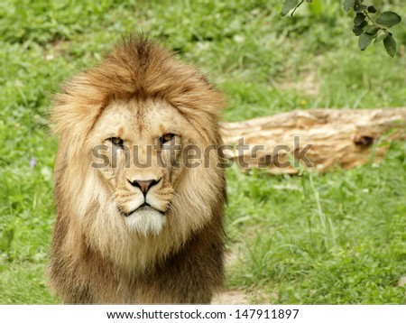 Barbary lion stay and looking into the camera - stock photo