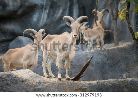 Barbary sheep (Ammotragus lervia) standing on the rock - stock photo