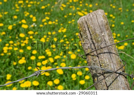 Barbed wire fence closeup and dandelion field in background - stock photo