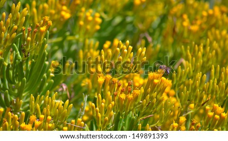 Barberton Groundsel Bush and Honey Bee - Senecio Barbertonicus  - stock photo