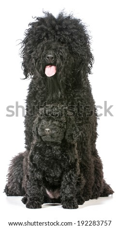 barbet mother and puppy isolated on white - stock photo