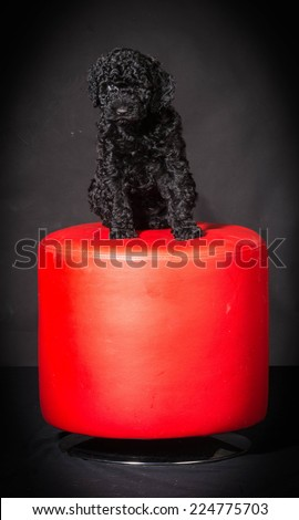 barbet puppy sitting on red stool on black background - stock photo