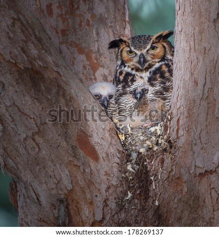 Bard owl with two adorable chicks hidden by mothers feathers - stock photo