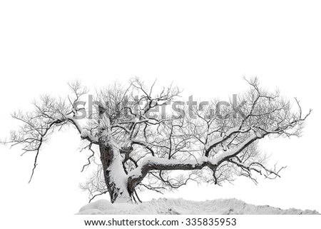 Bare tree covered in snow on cold winter day, isolated on white - stock photo