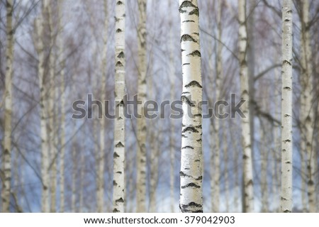 Bare trunks of birch trees on blue sky in early spring - stock photo