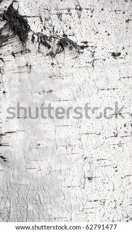 bark of birch in the cracks texture - stock photo