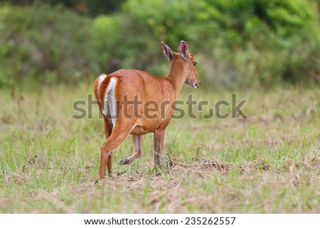 barking deer, wildlife preservation in Thailand - stock photo