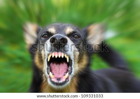 Barking enraged shepherd dog outdoors - stock photo
