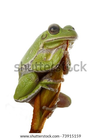 Barking Tree Frog Appearing to Pray While Clinging to Magnolia Bud - stock photo