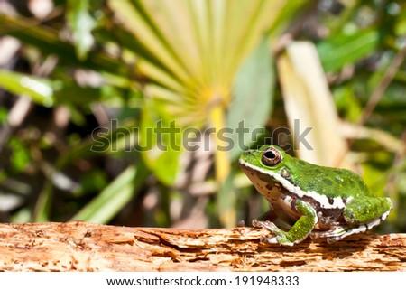 Barking Treefrog - stock photo