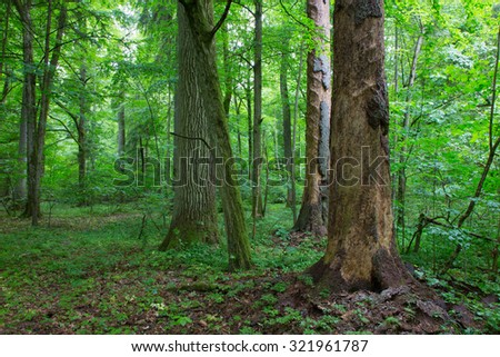 Barkless spruces and old oak in old summertime deciduous stand of Bialowieza Forest,Bialowieza Forest,Poland,Europe - stock photo