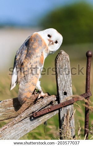 Barl owl looks curiously from an old wooden fence - stock photo