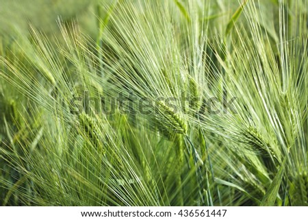 barley field - stock photo