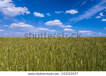 barley field and blue cloudy sky - stock photo