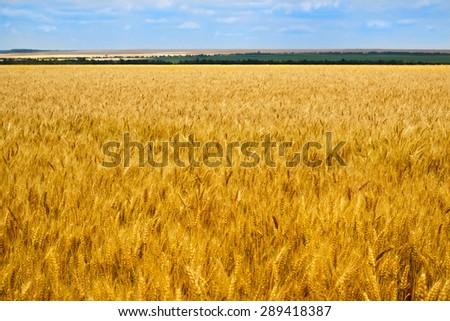 Barley field and blue sky - stock photo