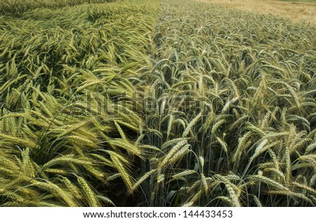 barley field two kind - stock photo