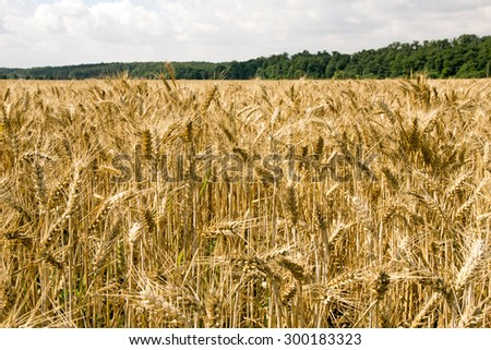 Barley field with many barley ears / Barley field - stock photo