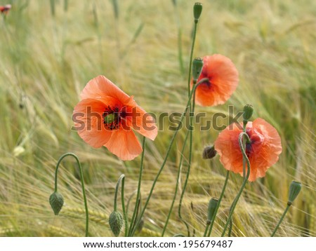 Barley field with red corn poppy  - stock photo