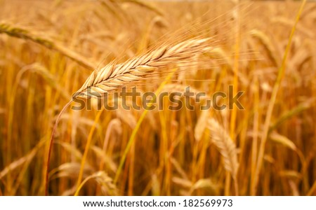Barley Field With Shining Golden Barley Ears In Late Summer. Background - stock photo