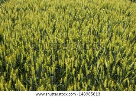 barley golden field - stock photo
