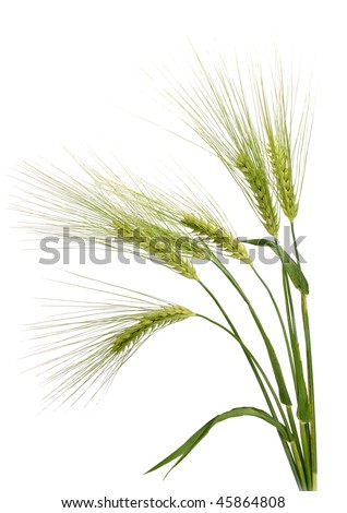 Barley (Hordeum vulgare) - stock photo