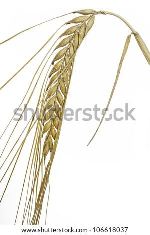 Barley (Hordeum vulgare) on white background - stock photo