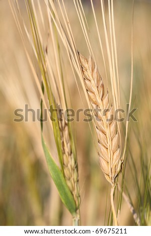 Barley ready for harvest - stock photo