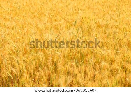 Barley rice field.Wheat field. - stock photo