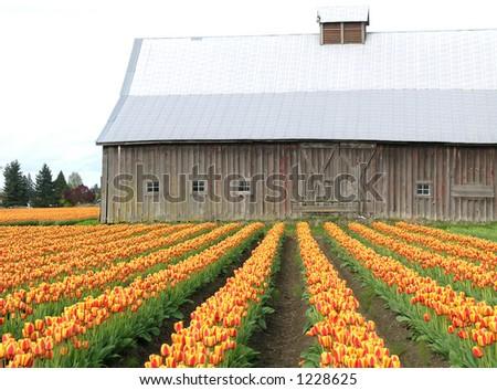 Barn and Tulips - stock photo