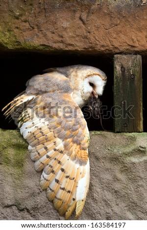 Barn Owl eating prey on a pitted stone ledge/Barn Owl/Barn Owl - stock photo