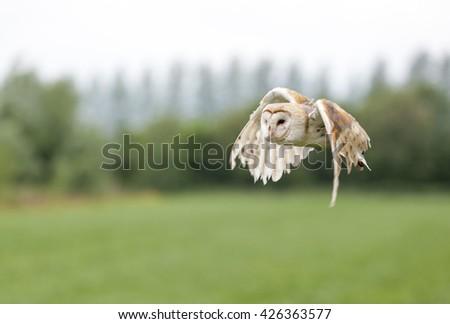 Barn Owl flying  - stock photo