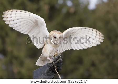Barn Owl Flying for falconer - stock photo